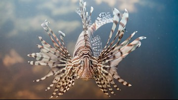 How lionfish are the scourge of the Gulf of Mexico