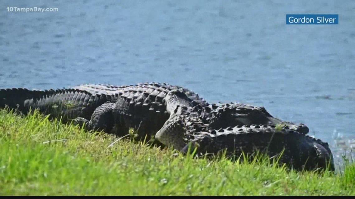 Gators caught fighting in Lakewood Ranch backyard