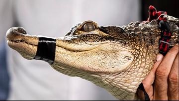 Superstar Chicago gator settling into new Florida home