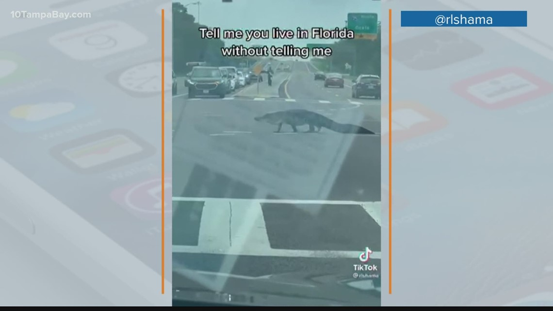Video shows Hillsborough County deputy help alligator across busy intersection