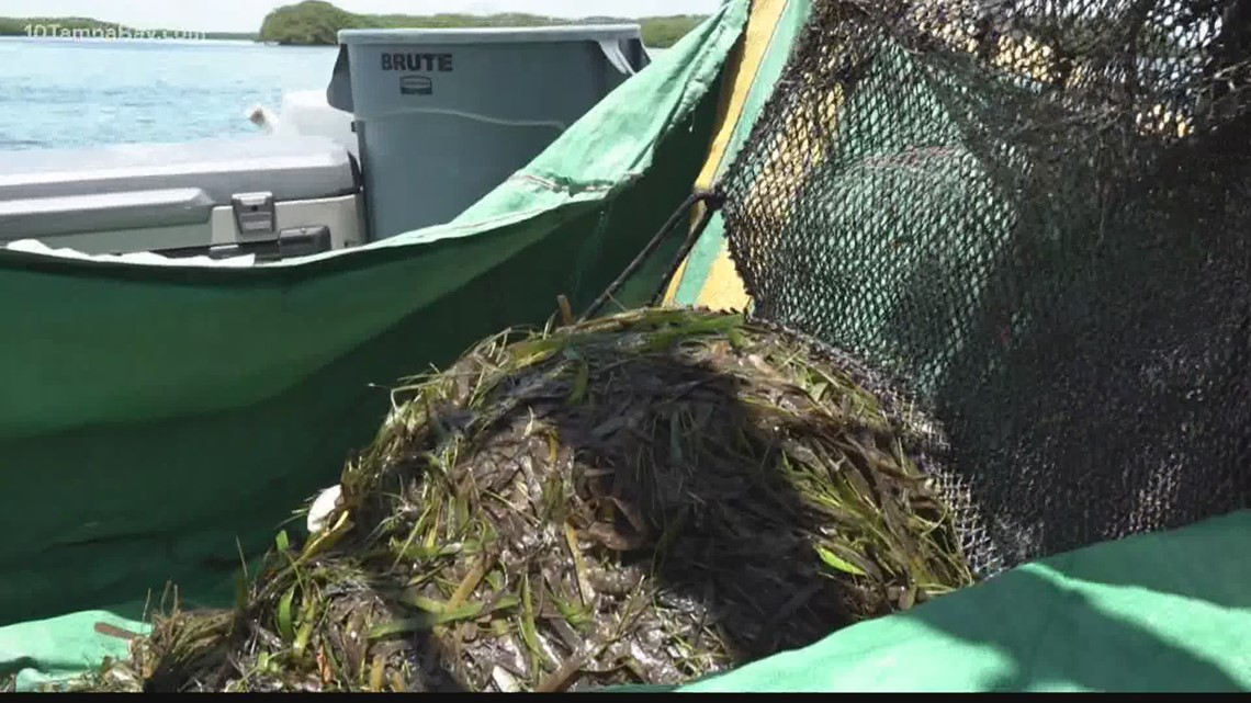 Red tide clean-up efforts pulling resources from over a dozen city departments in St. Pete