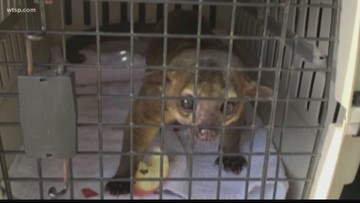 Florida man attacked by Kinkajou