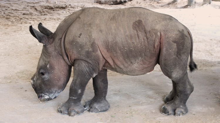 ZooTampa welcomes baby southern white rhino