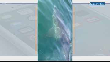Great white shark comes close to boat