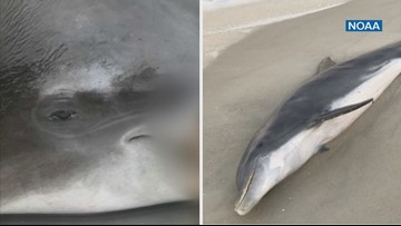 'These are shocking cases': NOAA says dolphins killed had most likely been fed fish in the past