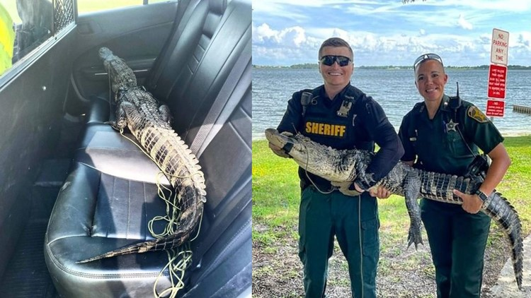 5 1/2-foot alligator takes a ride in the back of a Polk County Sheriff's Office car