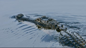 Alligator bites hunter as season gets started