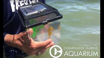 Cheeto goes home: Rescued seahorse released