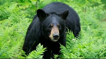 Florida zoo raising orphaned black bear cub
