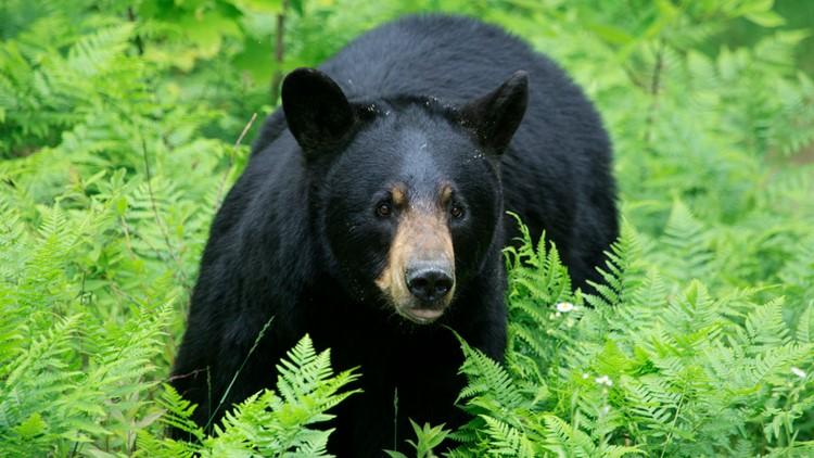 Wildlife officials: Black bear kills dog in Florida back ...