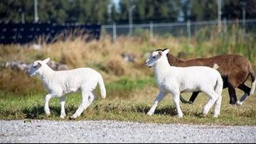 Lamb Cam returns to TECO's solar fields