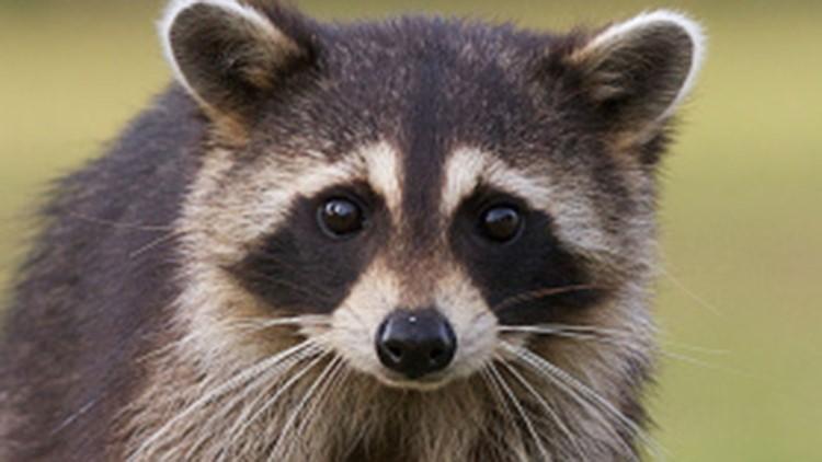 'Zombie-like' raccoons are shuffling around Ohio