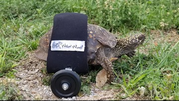 Shell on Wheels: Paralyzed tortoise can get around with new device