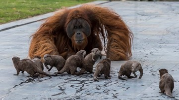 Orangutans and otters make unlikely friends at Belgian zoo