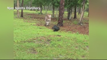 Alligator and donkey face off in Florida
