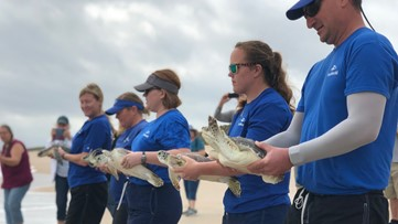 After months of treatment, 15 endangered sea turtles returned home