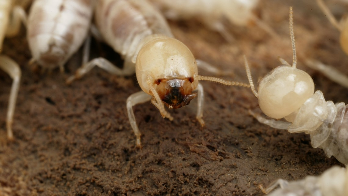 Why inspecting for termites before a hurricane can save you money