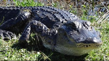 Decapitated alligator likely killed by vehicle, FWC says