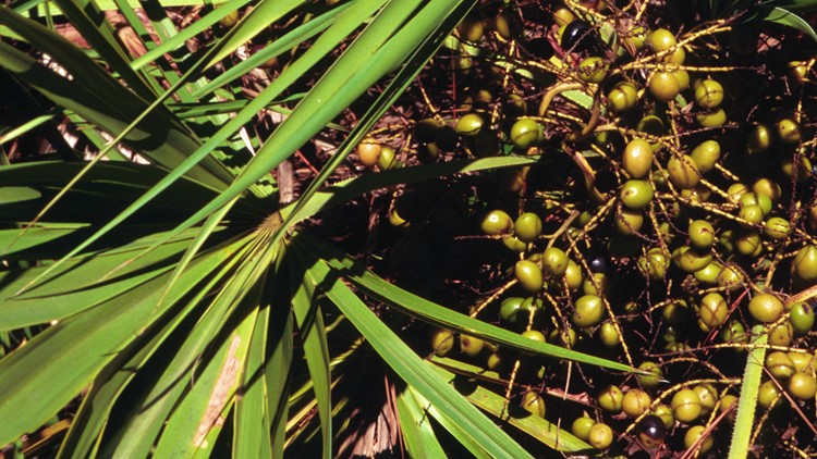 wanna harvest saw palmetto berries from your backyard in florida