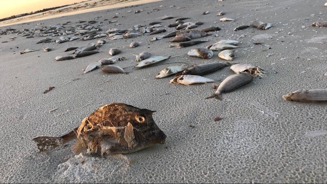 Red Tide Along Florida Coast Affecting Sea Life From Small Fish To