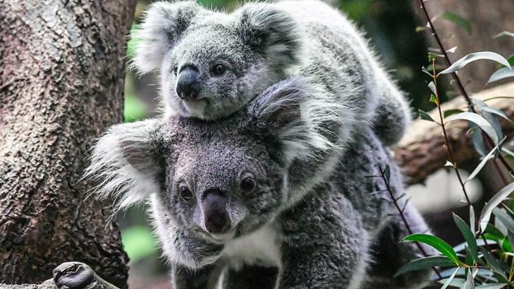 Koalas are now considered 'functionally extinct'