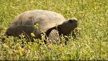 FHP: Florida motorcyclist swerves to avoid tortoise, crashes into another motorcyclist
