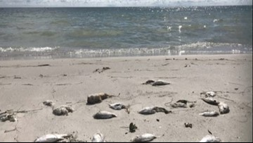 No more 'high' red tide concentrations: Florida Gulf Coast sees improvement