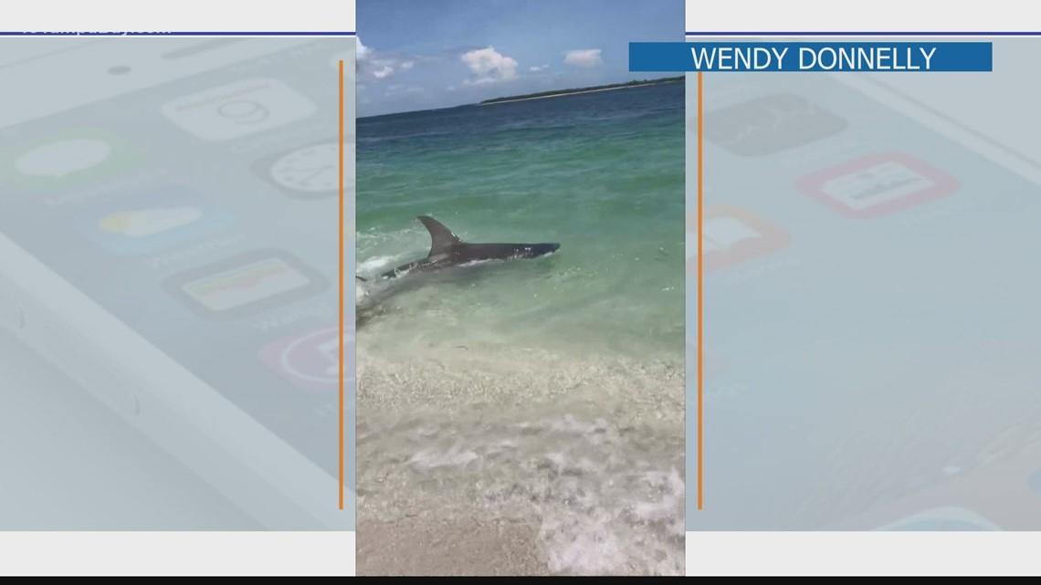 Hammerhead shark thrashes in ankle-deep water near beachgoers