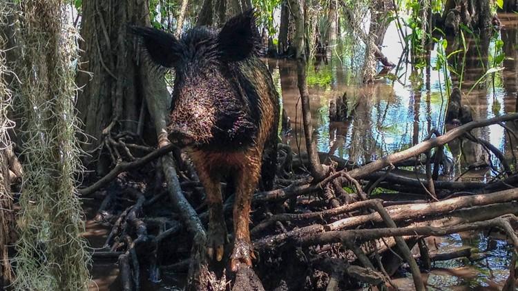 Hauling Feral Hogs