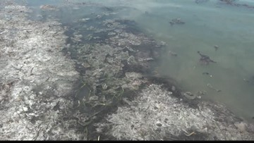 Brown algae blankets areas of local beaches