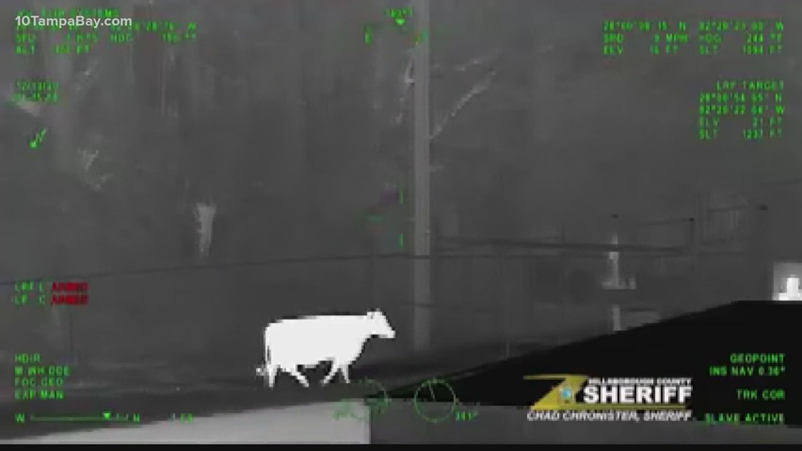 Holy cow! Cow spotted roaming around Tampa Executive Airport