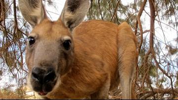 Texas kangaroo located after hopping loose Wednesday