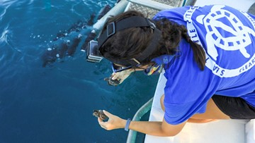 Baby sea turtles released into the Atlantic by Clearwater Marine Aquarium
