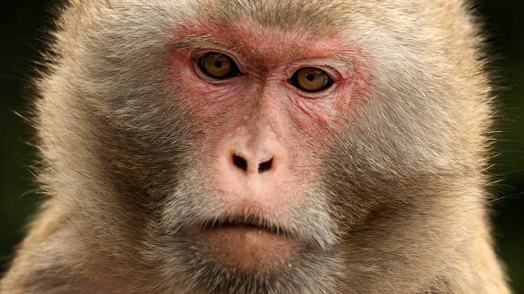 Florida's herpes-infected monkey population grows -- and that's bad news for people