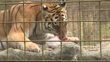Exotic cats at Big Cat Rescue devour Thanksgiving dinner