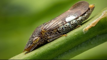 'Pissing fly' found in Florida can 'catapult pee' faster than a cheetah can run