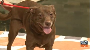 Chocolate lab mix Mila looking for forever home