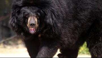 Chihuahua named Bear helps woman survive actual bear attack