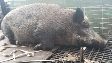 Massive 400-pound hog captured at Florida school bus stop