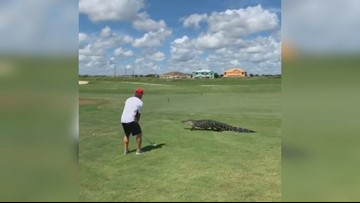 Golfer has to watch out for this gator on a Florida course