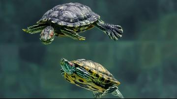 2 Florida men accused of poaching, selling thousands of turtles
