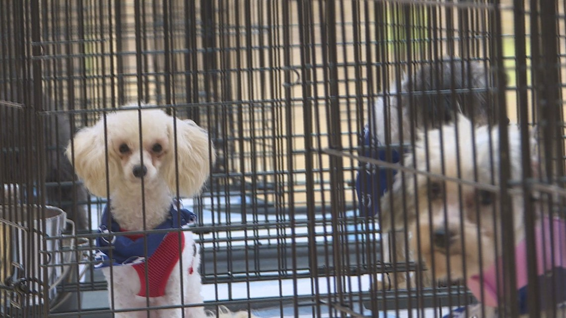 Finally, a forever home: The 300-plus dogs saved from an 'unsafe' breeder are being adopted today