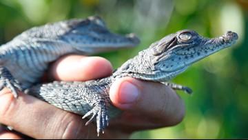 Crocodiles thriving near Florida nuclear plant
