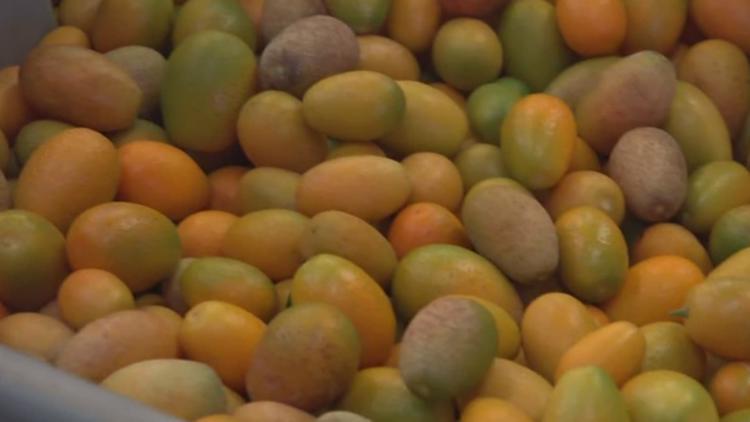 24th annual Kumquat Festival kicks-off this weekend