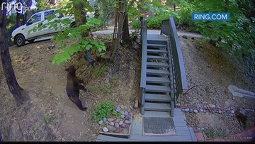 A bear tries to make friends with fake owl