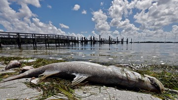High levels of red tide creep up Florida's Gulf Coast, now into Sarasota County