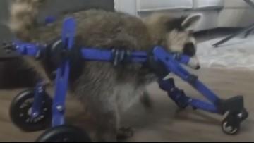 Injured baby raccoon Vittles walks again with wheelchair