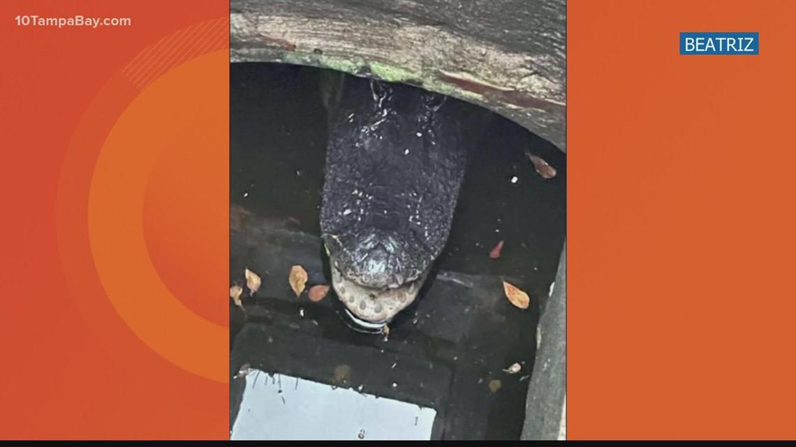 Two Miami boys find alligator trapped in storm drain