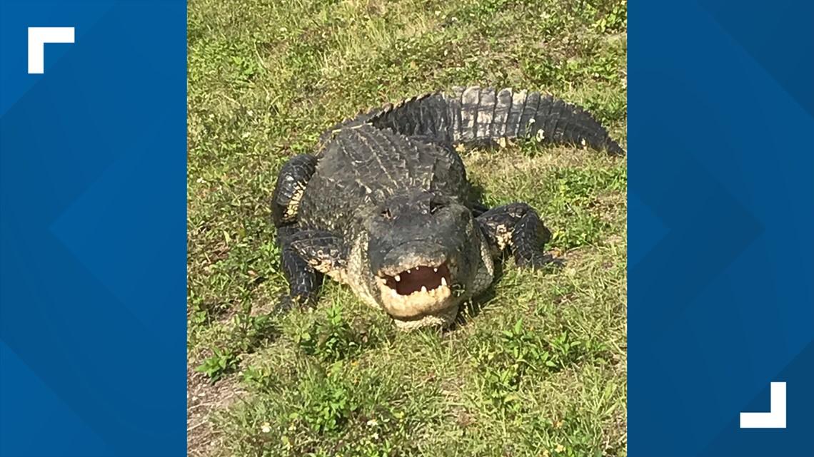 Big gator hangs out near Largo neighborhood