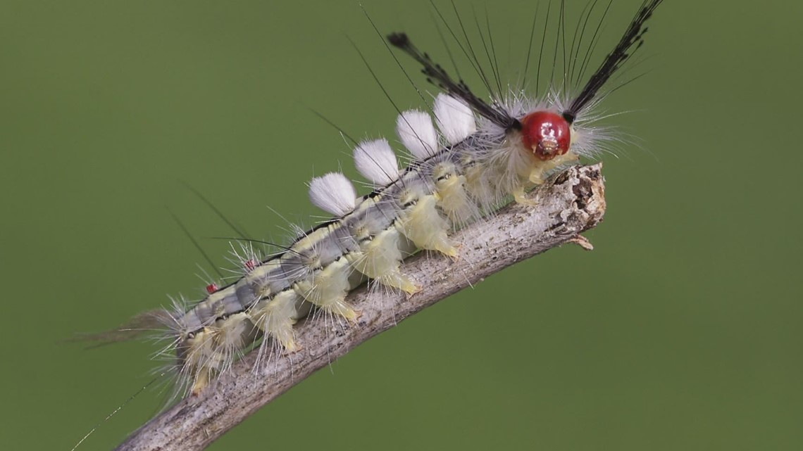 Florida Department of Health warns parents about  caterpillars that can cause rashes